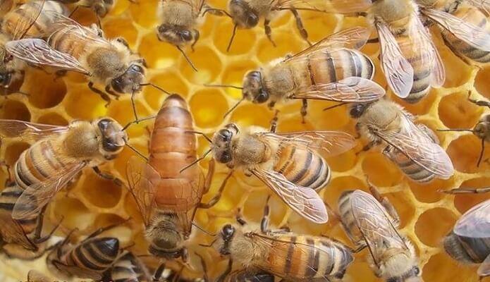 Ana Arı Sipariş